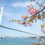 来島海峡大橋 河津桜