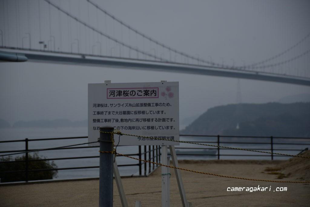 来島海峡大橋の河津桜