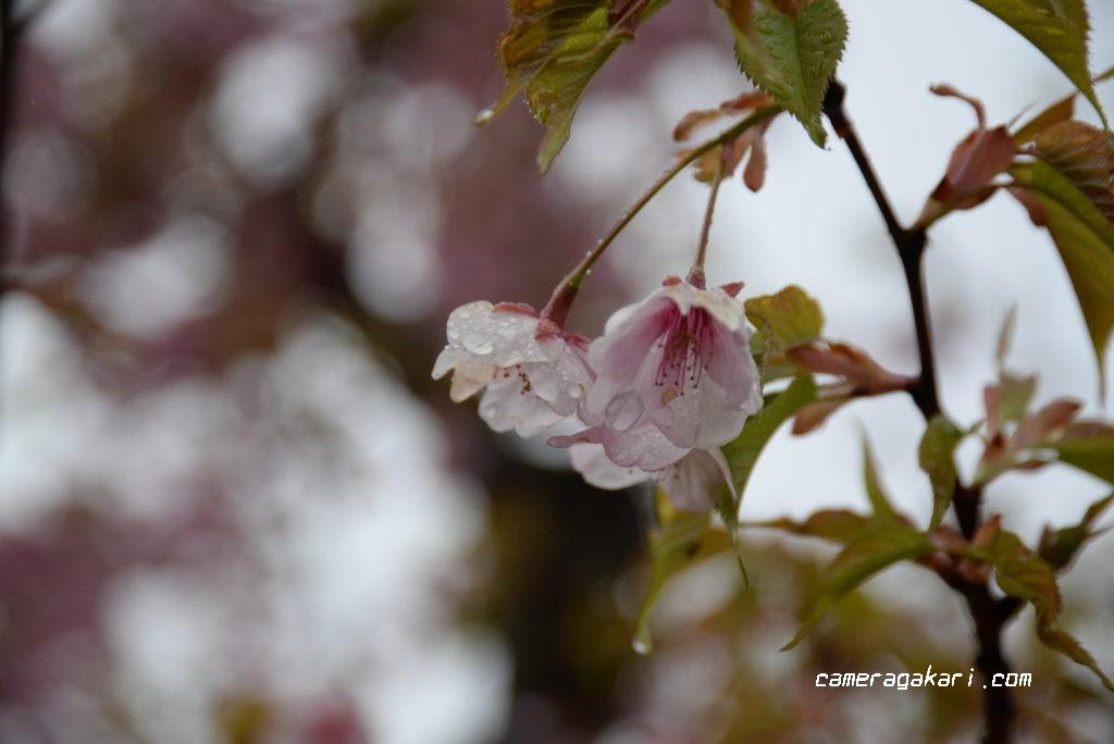 河津桜 花びら