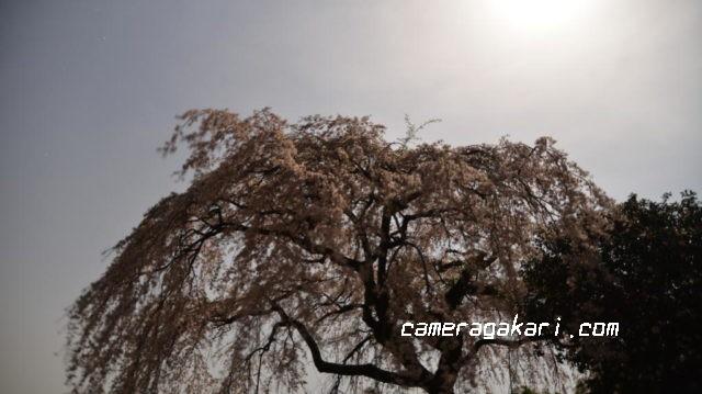 古田のしだれ桜